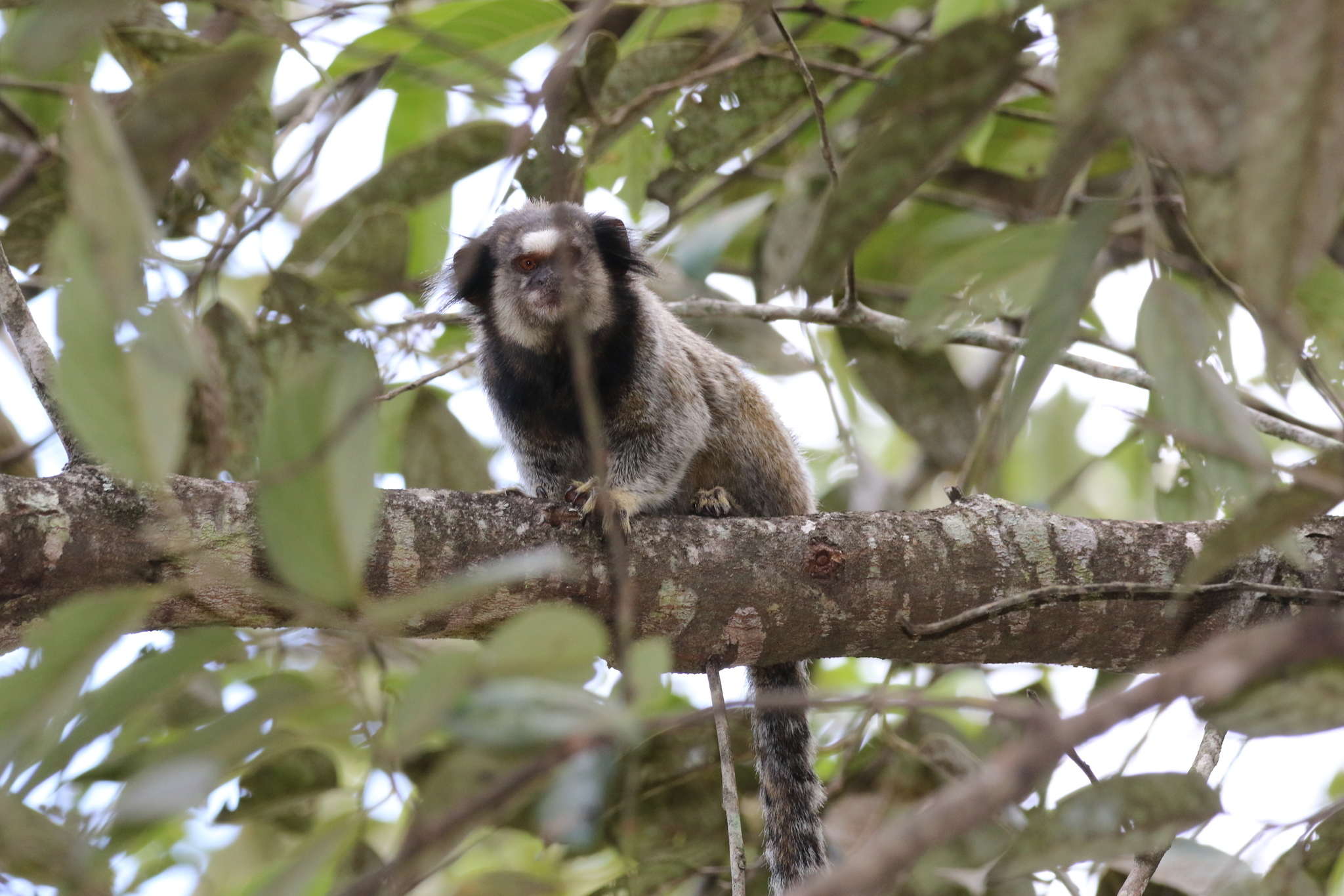 Image of Black-pencilled marmoset