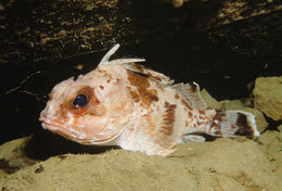 Image of Gulf gurnard perch