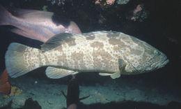 Image of Estuary Cod