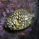 Image of Pineapplefish