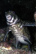 Image of Cockatoo fish