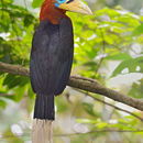Image of Rufous-cheeked Hornbill