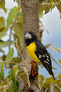 Image of Spot-winged Grosbeak