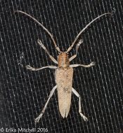 Image of poplar borer