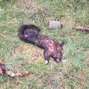 Image of Brushtail possum