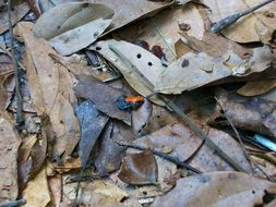 Image of Red-backed poison frog