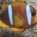 Image of Barrier Reef Anemonefish