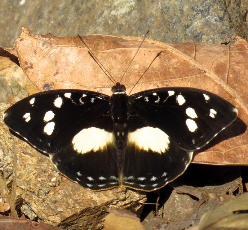 Image of <i>Aterica galene</i> Brown