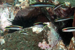 Image of Eastern hulafish