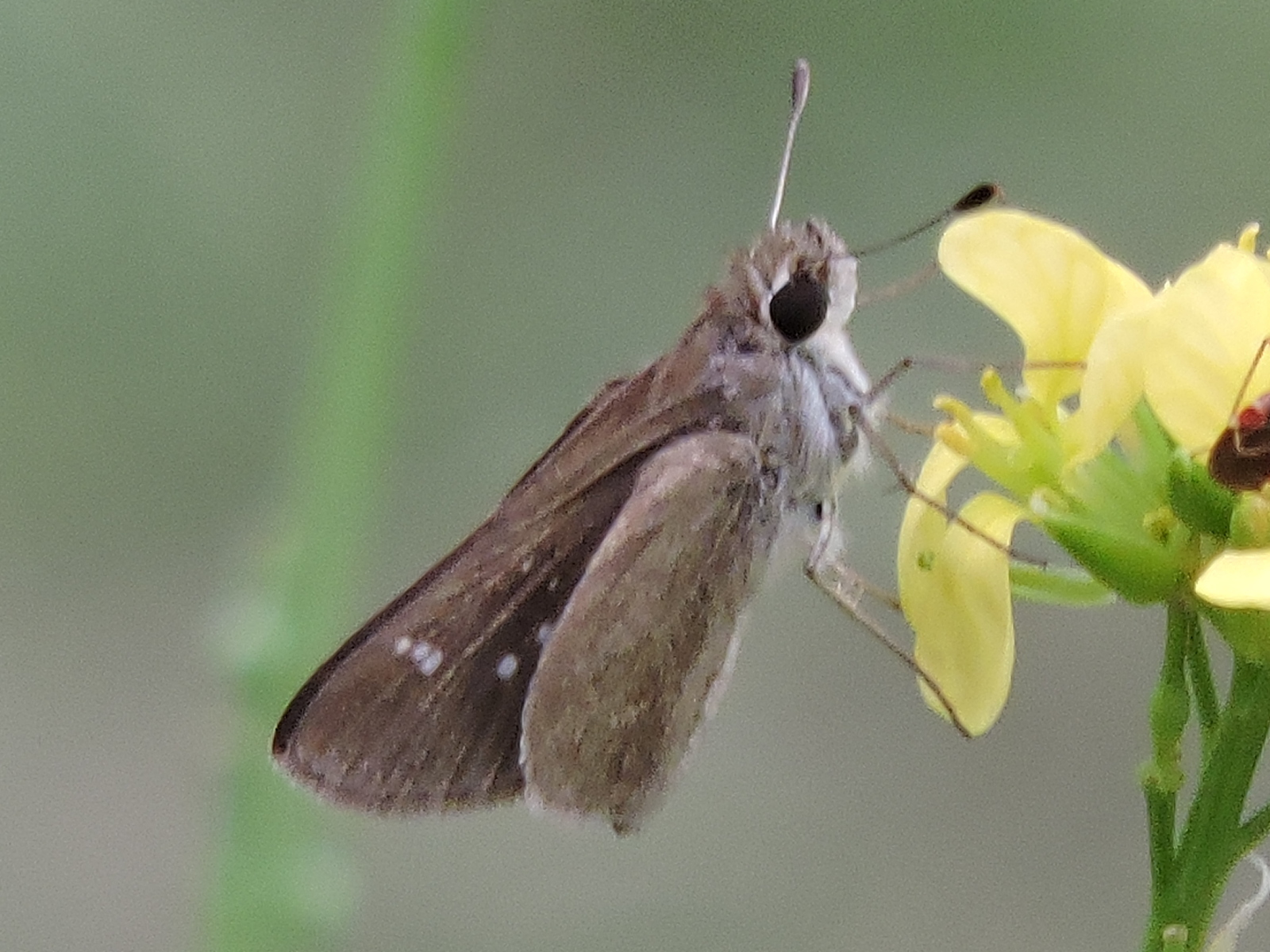 Image of Eufala Skipper