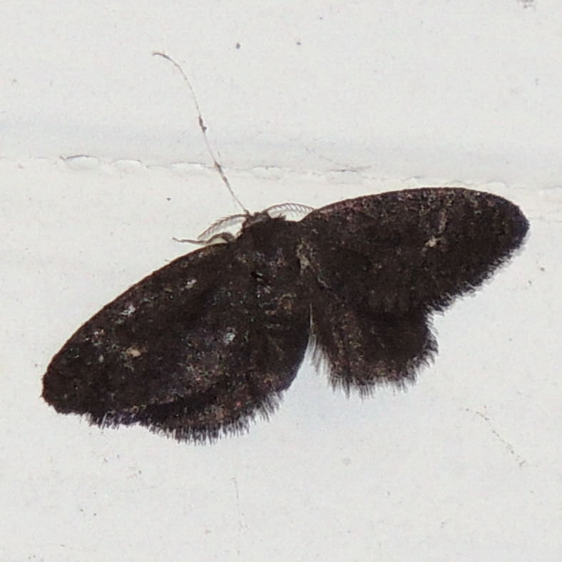 Image of <i>Fulgoraecia exigua</i>