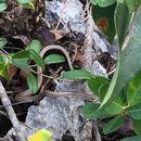 Image of Ground Snake