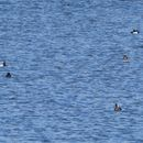 Image of Ring-necked duck