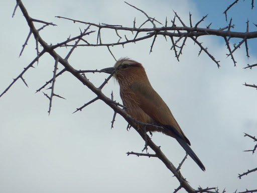 Image of Rufous-crowned Roller