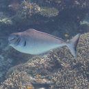 Image of Humpnose Unicornfish
