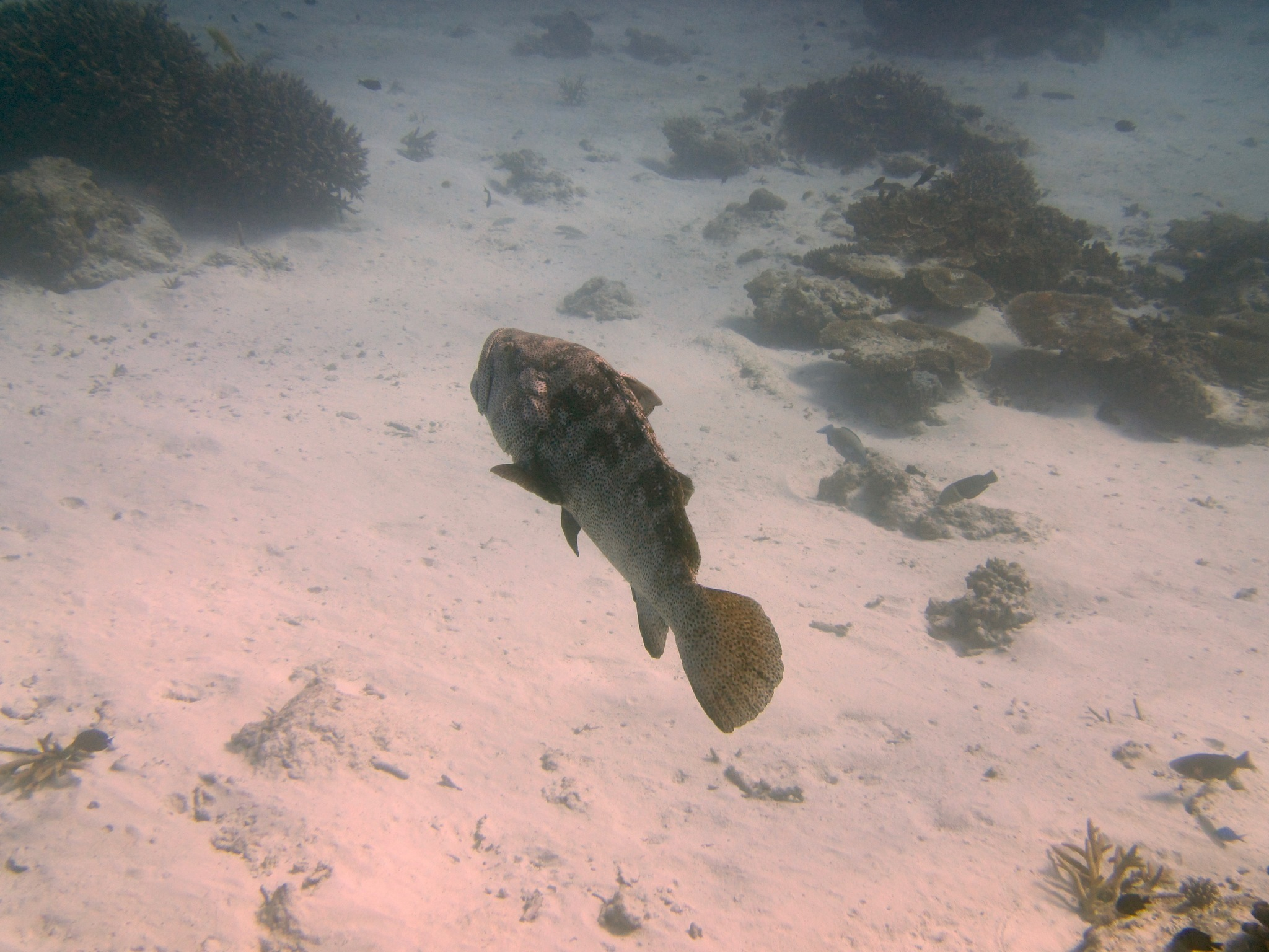 Image of Estuary Cod