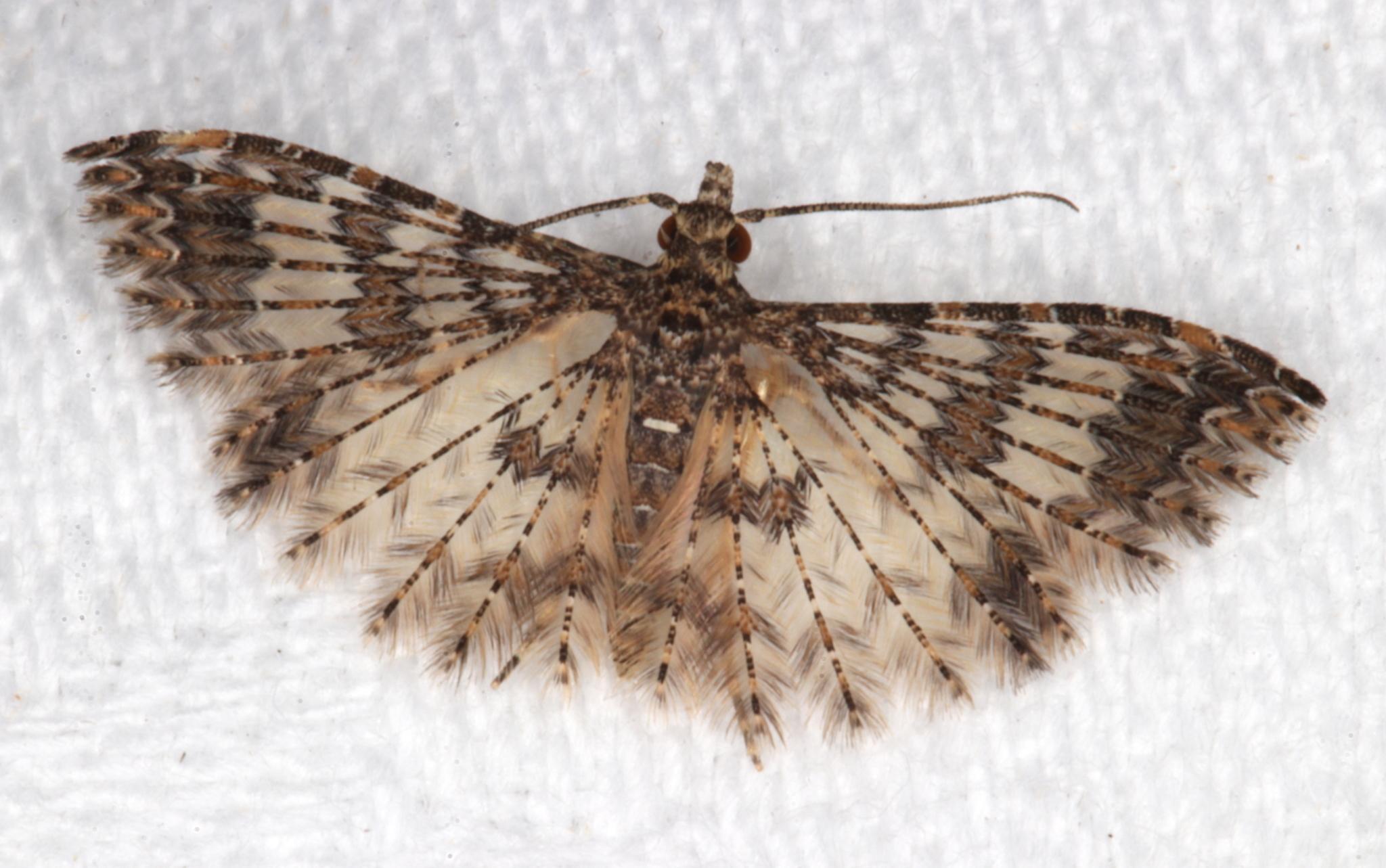 Image of <i>Alucita phricodes</i> Meyrick 1886