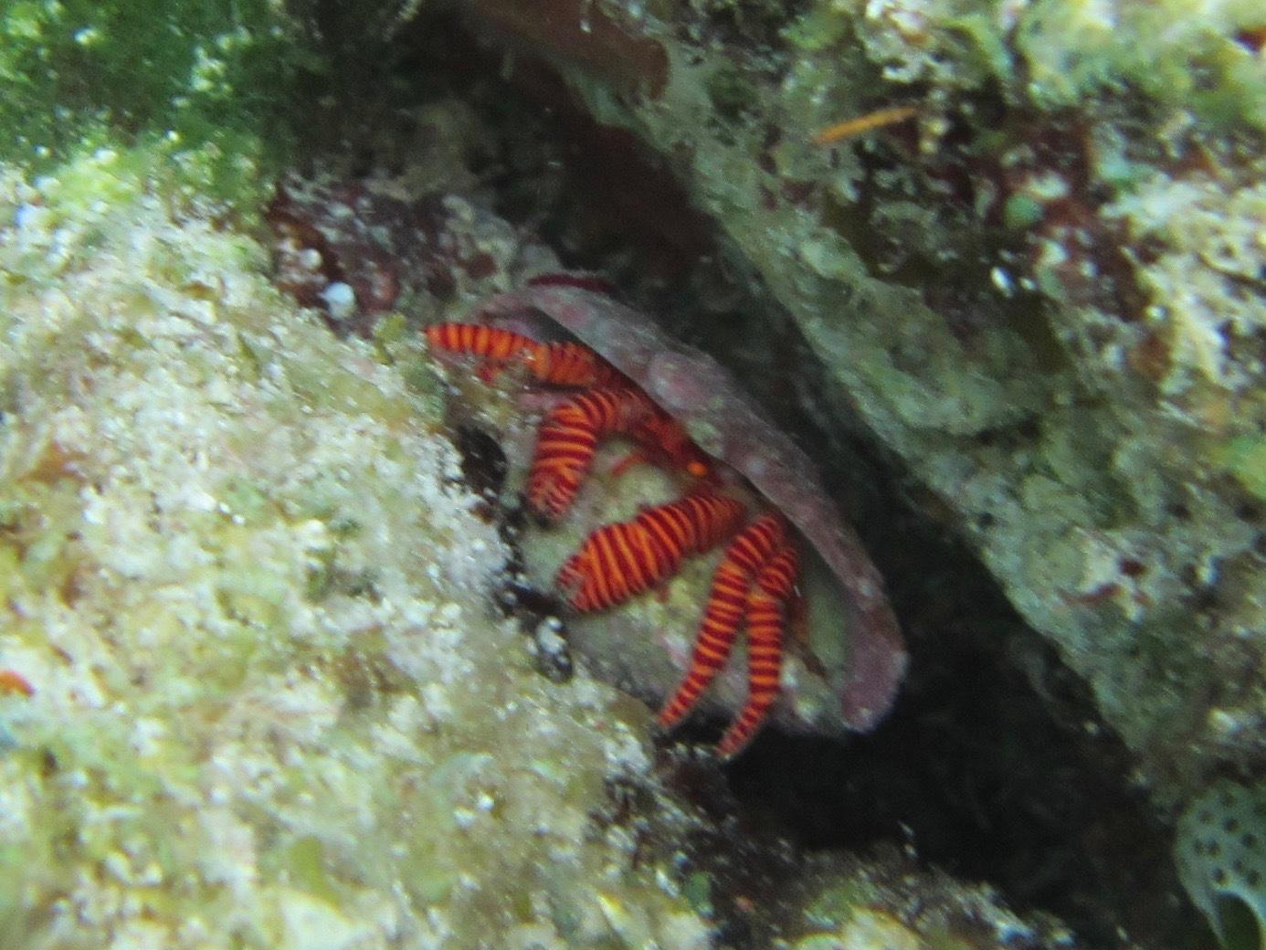 Image of <i>Ciliopagurus strigatus</i> (J. F. W. Herbst 1804)