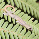 Image of Indo-Pacific Tree Gecko