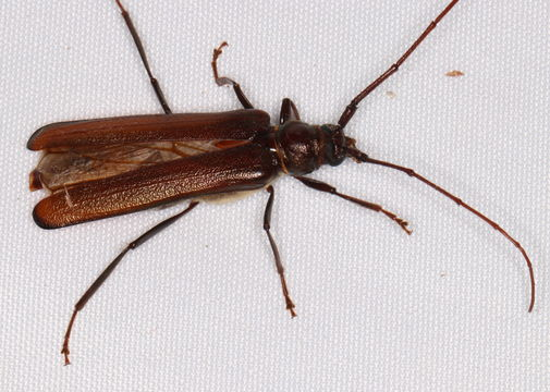 Image of <i>Xystrocera virescens</i> Newman 1840