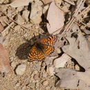 Image of Arachne Checkerspot