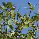 Image of <i>Ficus thonningii</i>