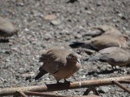 Image of Black-winged Ground Dove