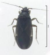 Image of <i>Ceratocombus aotearoae</i>