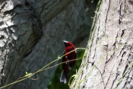 Image of Crimson-backed Tanager