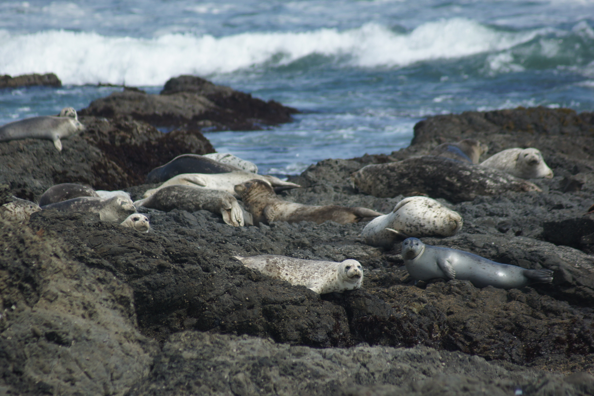 Image of Pacific harbor seal