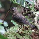 Image of Black-headed Nightingale-Thrush