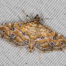 Image of Ommatospila Moth