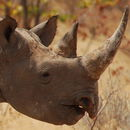 Image of Black Rhinoceros