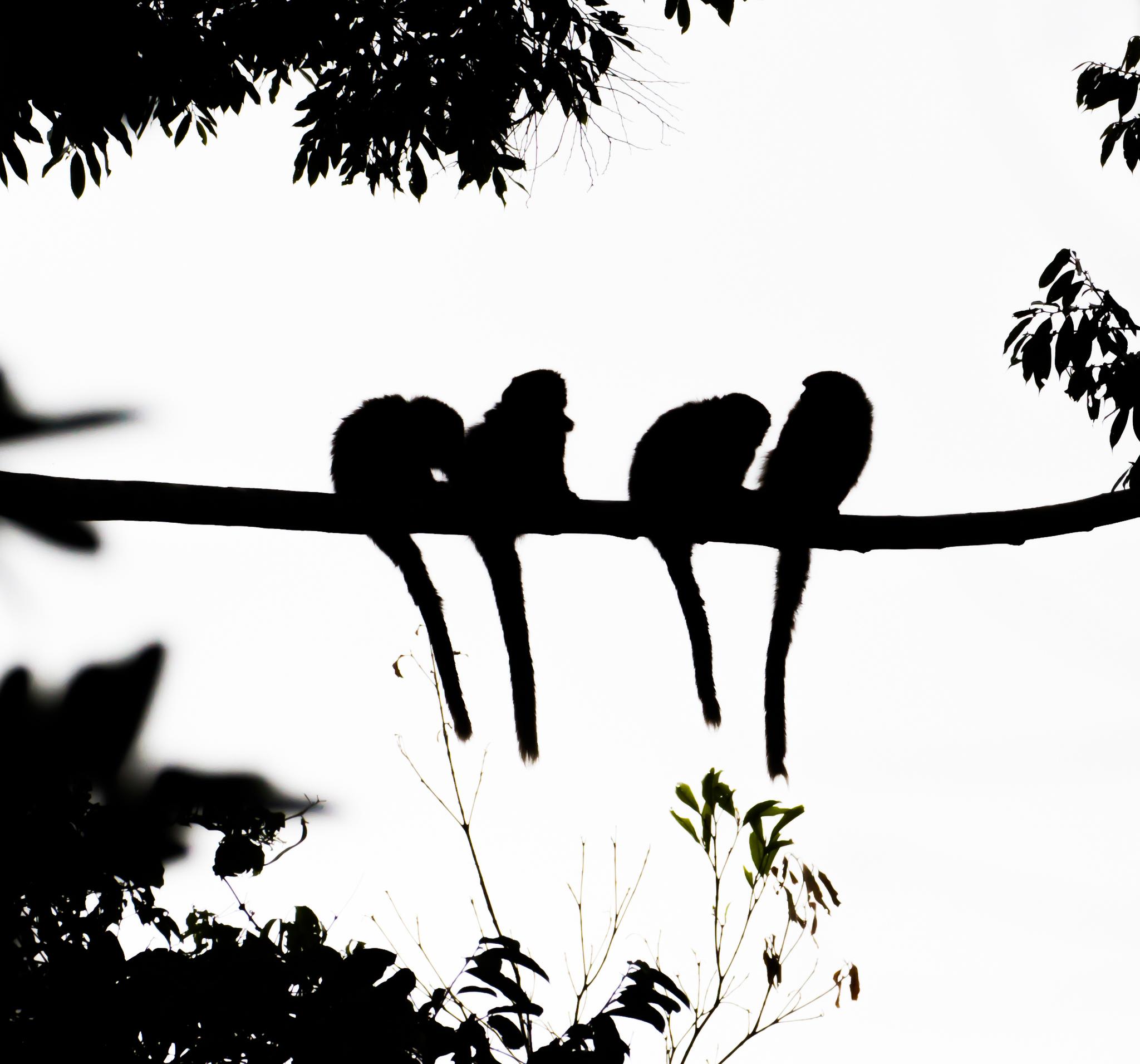 Image of Brown Titi Monkey