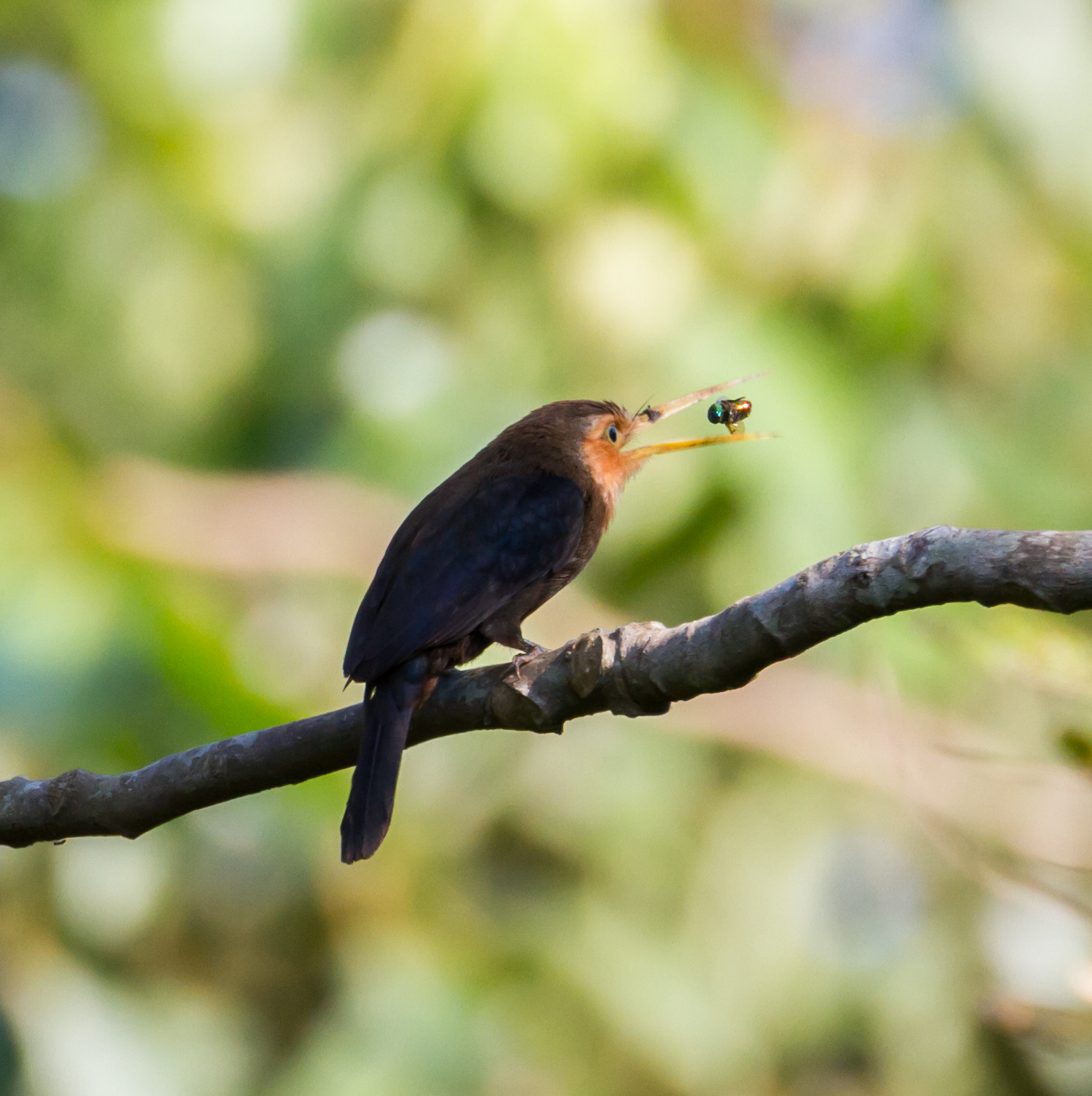 Image of White-throated Jacamar
