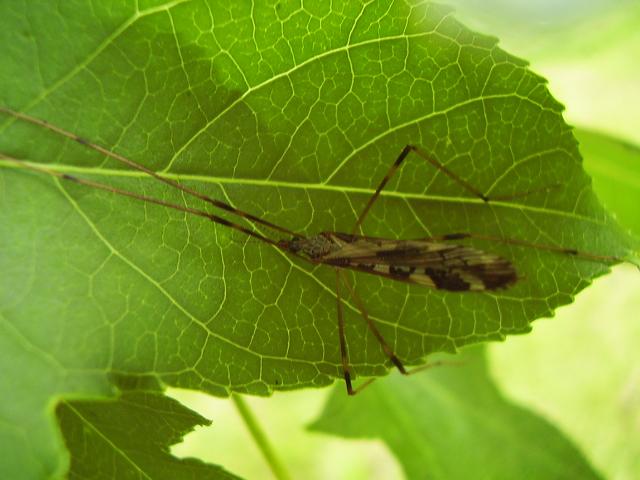 Image of <i><i>Paralimnophila</i></i> (Paralimnophila) <i>skusei</i> (Hutton 1902)