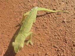 Image of Senegal Chameleon