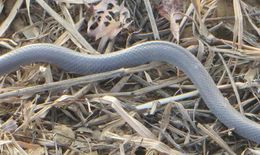 Image of Eastern Crowned Smooth Snake