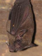 Image of Pallas's Long-tongued Bat