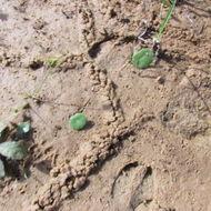 Image of Southern Mole Cricket