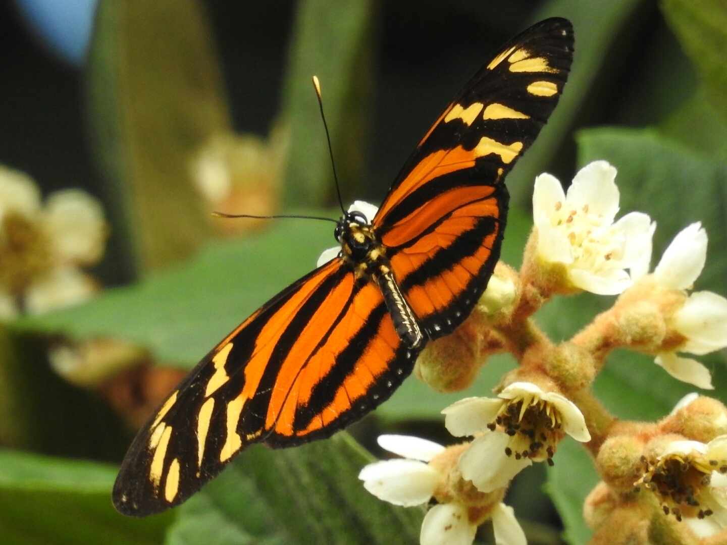 Image of Tiger Mimic-Queen