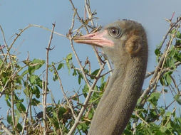 Image of Somali Ostrich