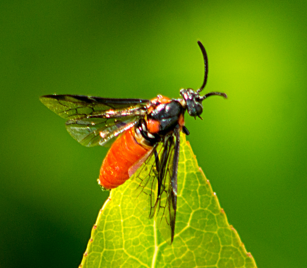 Image of Poison Ivy Sawfly