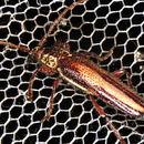 Image of <i>Piesarthrius marginellus</i>