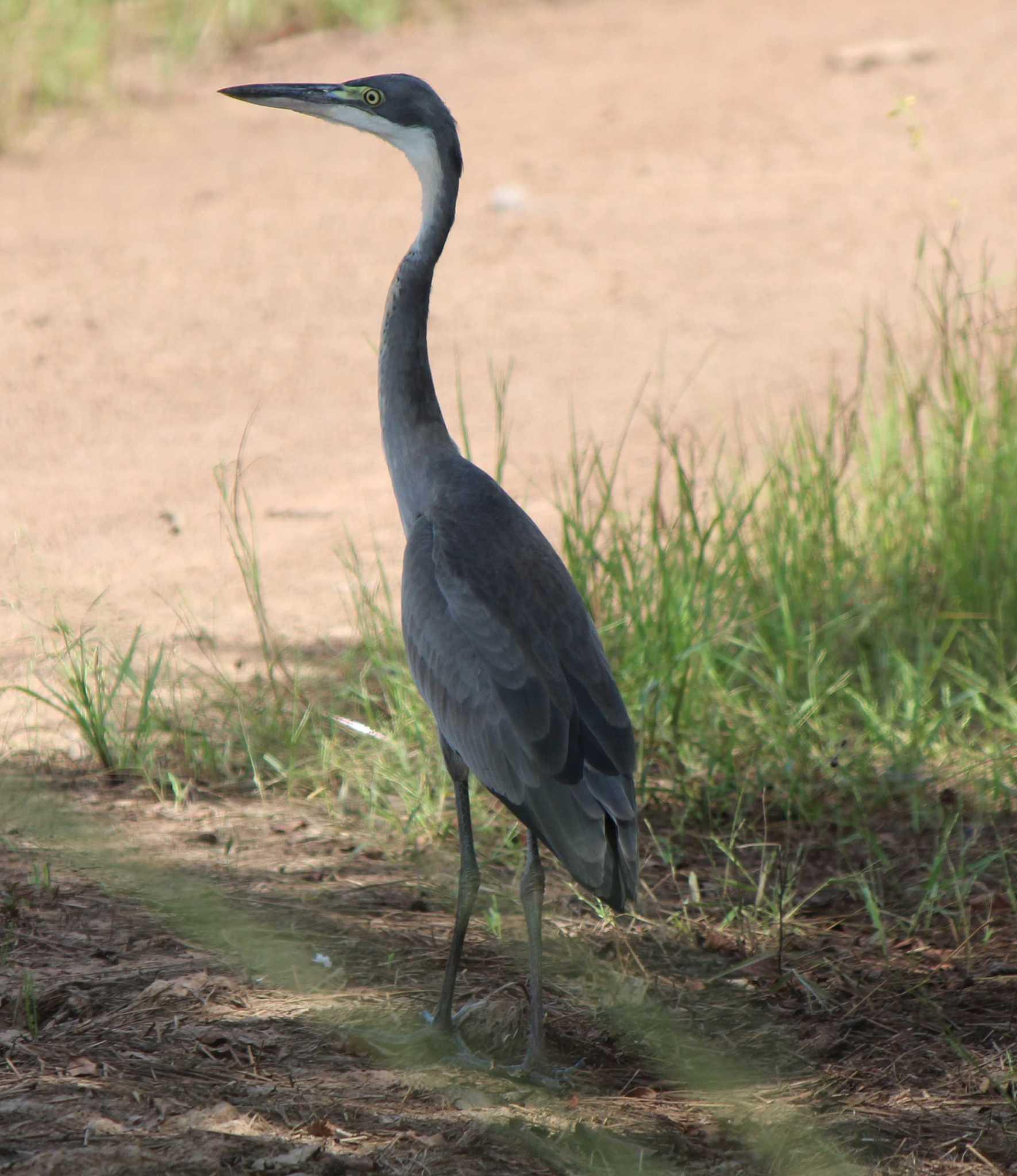 Image of Black-headed Heron