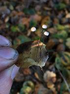 Image of <i>Gymnopus quercophilus</i>