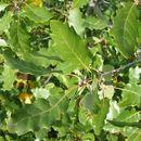 Image of <i>Quercus faginea</i>