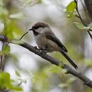Image of Grey-headed Chickadee
