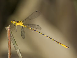 Image of <i>Heteragrion cooki</i> Daigle & Tennessen 2000