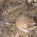Image of Panamint kangaroo rat